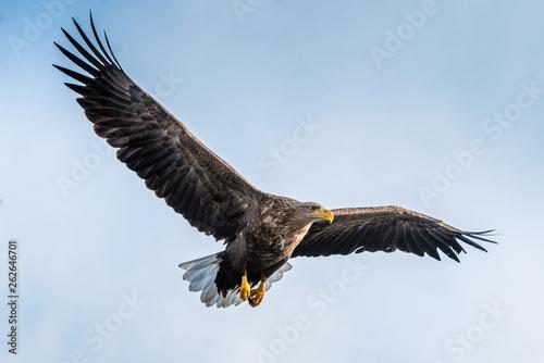 White tailed eagle in flight Fototapeta
