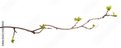 Fotografia A branch of currant bush with young leaves on an isolated white background