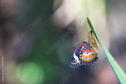 Fényképezés Leopard Lacewing Butterfly on Chrysalis in the garden.