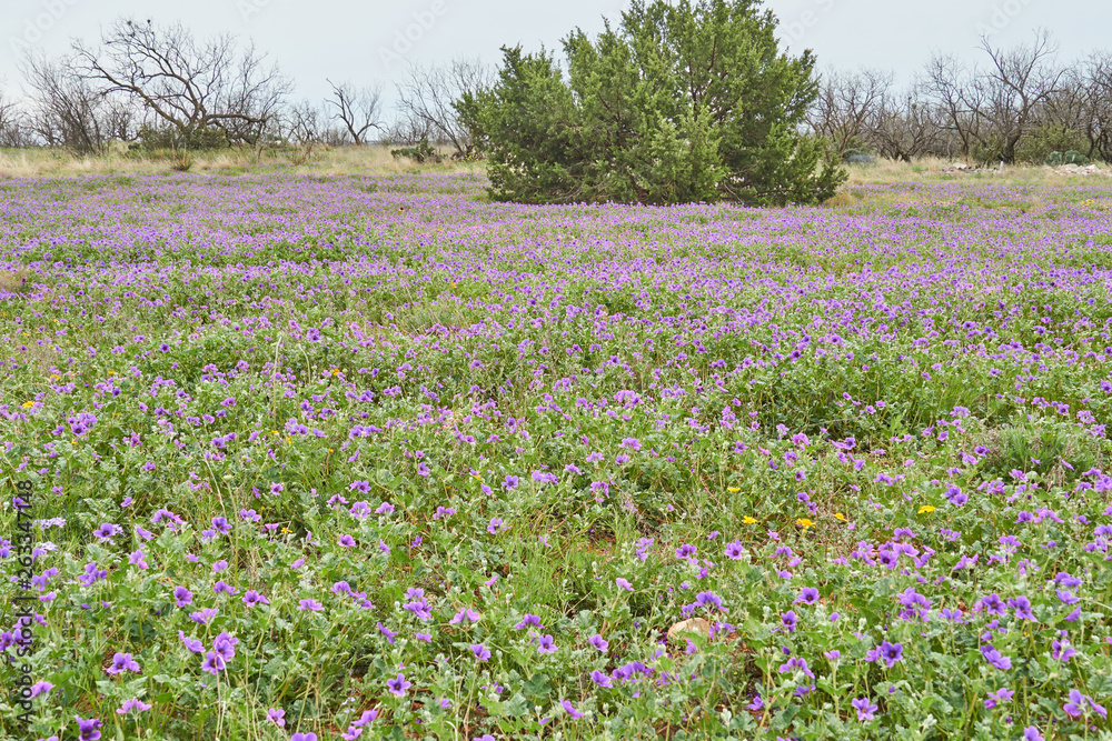 Patch of Erodium texanum, also known as Texas filaree, Texas stork's bill, or heronbill,on green background