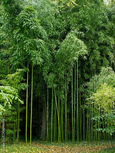 Bamboo Phyllostachys vivax 'Huanvenzhn' in a specialist garden