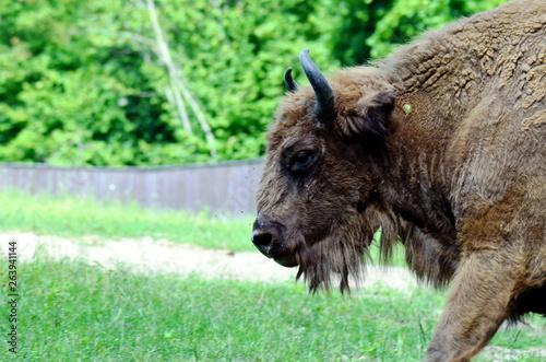 Wallpaper Mural European bison in Wolisko, Mazurian Region in Poland.