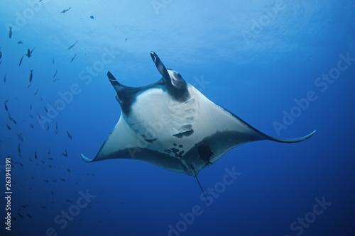 Photo giant oceanic manta ray, manta birostris