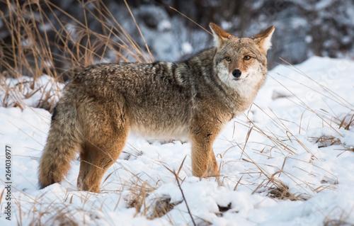 Coyote in the wild Tapéta, Fotótapéta