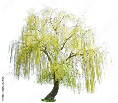 Slika na platnu weeping willow in spring isolated on a white background
