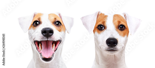 Photo Portrait of a cheerful and sad dog breed Jack Russell Terrier, closeup, isolated