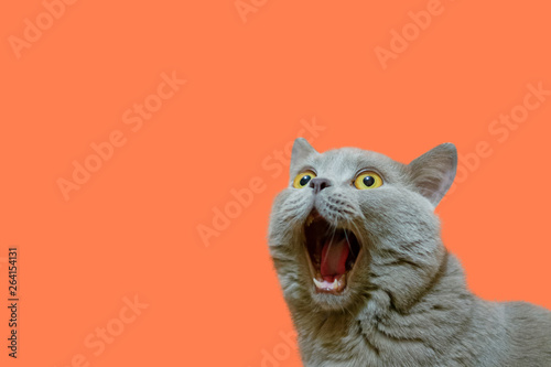 A lilac British cat looking up. The cat opened his mouth with a mad look. The concept of an animal that is surprised or amazed. The figure of a cat on an isolated background of coral color.
