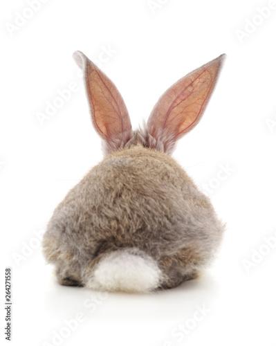 Fototapeta One rabbit back.