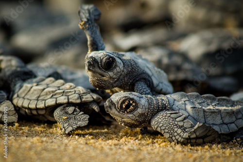 Fototapeta Baby hatchling sea turtles struggle for survival as they scamper to the ocean in