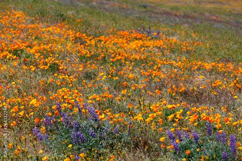 Fototapeta Antelope Valley California Poppy Reserve State Natural Reserve
