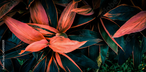 Canvas Print Leaf or  Cordyline  fruticosa leaves colorful vivid tropical nature background