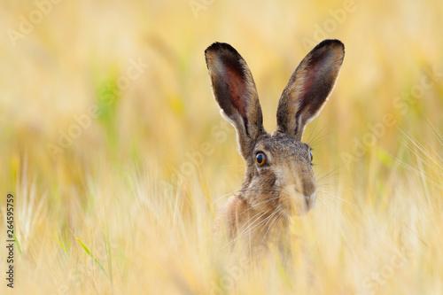Fotografiet European brown hare in cornfield, Lepus europaeus, Germany, Europe