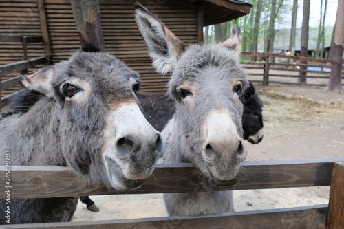 Fotografija Two donkeys are looking into the camera with their necks on the wooden fence in