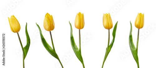 Canvas Print A collection of yellow tulip flowers isolated on a white background