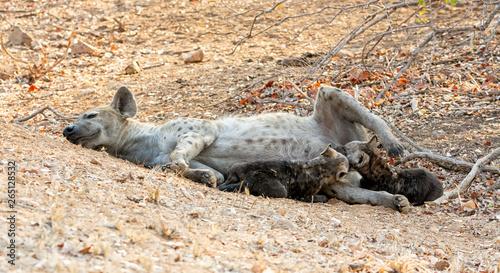 Tablou Canvas Hyena Cubs Suckling
