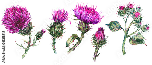 Fotografie, Obraz Vintage watercolor set of thistle, wild flowers, meadow herbs, leaves branches
