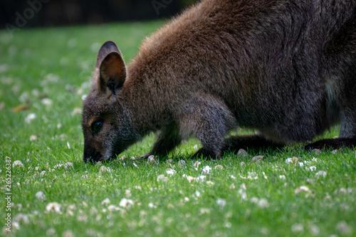 Obraz na plátne wallaby de bennett pastando