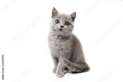 Canvas Print Kitten British blue on white background. Cat sitting
