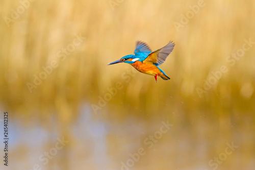 Canvas Print Flying bird kingfisher