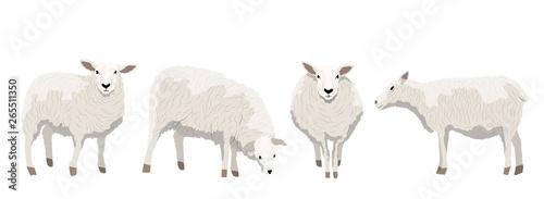 Fotografia Set of white uncut sheep in various poses
