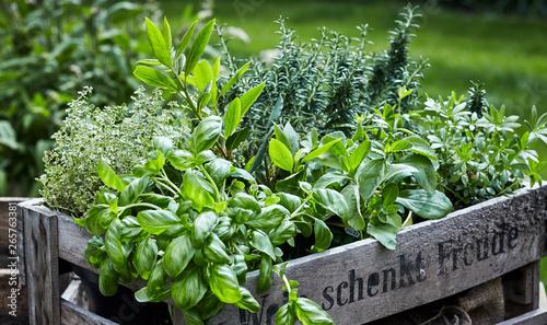 Fotografie, Tablou Assorted fresh herbs growing in pots