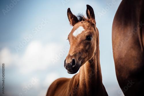 Pferde hübsches braunes Fohlen im Sommer vor schönem blauen Himmel schaut aufmer Fototapete