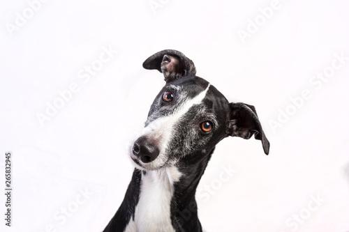 Canvastavla Portrait of a greyhound on white background