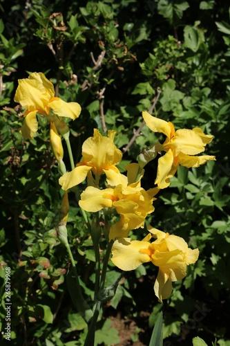 Iris pseudacoru