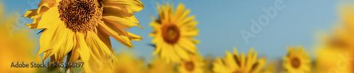 beauty field of sunflower