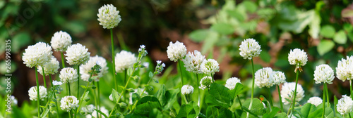 Canvas-taulu Panoramic view of white clover flowers