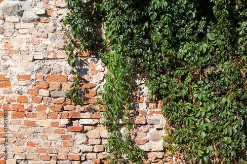 old brick wall ivy