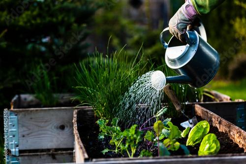 Valokuvatapetti Backyard outdoor portrait of a woman gardener hands planting letuce in vegetable garden