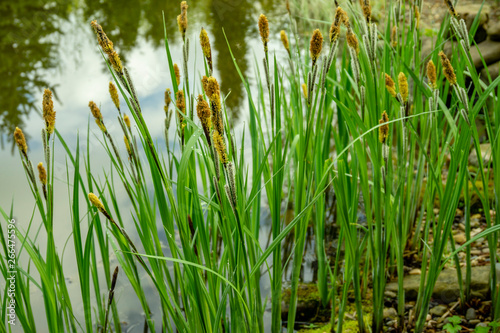 Obraz na płótnie Carex melanostachya, Sedge (Carex nigra), Black or common sedge blooms on shore of magical pond among stones