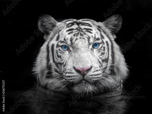 Photo Face of Siberian white tiger on a black background.