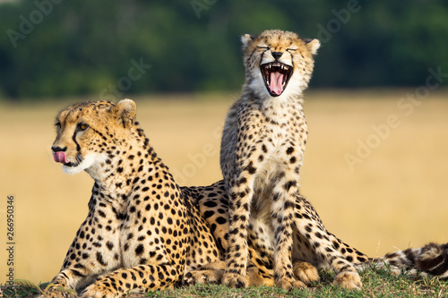 Fotomural Cheetah mother and son showing teeth