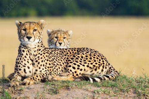 Obraz na płótnie Cheetah mother and son laying together