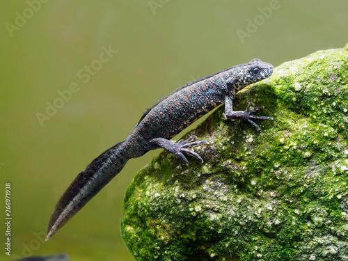 Fotografia Balkan crested newt or Buresch's crested newt Triturus ivanbureschi
