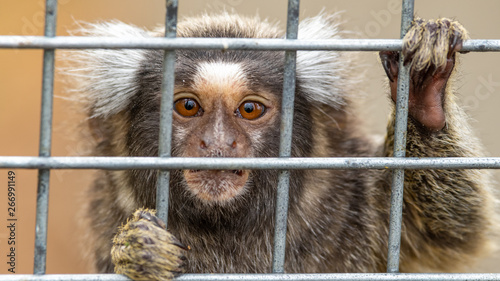 Fotografia Marmoset Pulling Funny Face From Behind Bars of its Cage