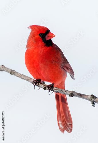Vászonkép Cardinal finch