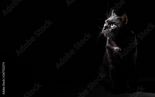 Stampa su Tela Portrait of a black cat in studio on black wall background with copy space