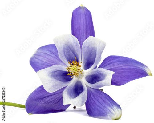 Fotografija Violet flower of aquilegia, blossom of catchment closeup, isolated on white back
