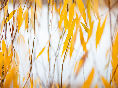 Fotografija Yellow leaves of the weeping willow