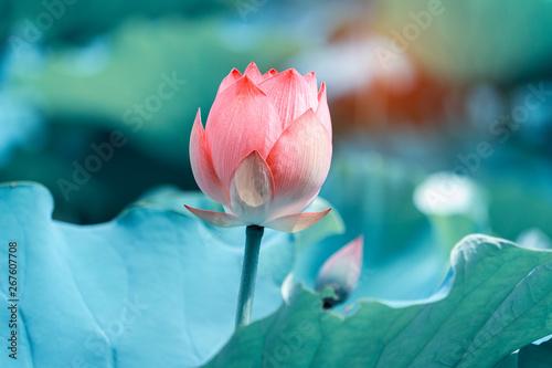 Obraz na płótnie blooming lotus flower in garden pond