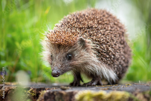 Fototapeta Cute common hedgehog on a stump in spring or summer forest during dawn