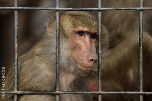 Photographie Hamadryas baboon (Papio hamadryas)