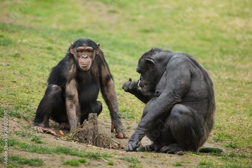 Tablou Canvas Common chimpanzee (Pan troglodytes)