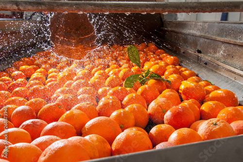 Foto The working of citrus fruits: washing and cleaning process of tarocco oranges in