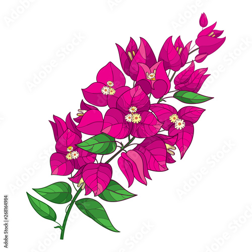Fotografía Outline Bougainvillea or Buganvilla flower bunch with bud in pink and green leaf isolated on white background