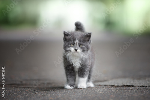 Stampa su Tela grey and white fluffy kitten posing on the road outdoors