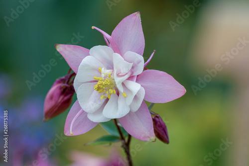 Makroaufnahme einer rosa weißen Akelei Blüte mit Details wie Blütenstempel und P Fototapeta